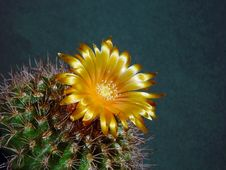 Free Blossoming Cactus Parodia Subtilihamata. Royalty Free Stock Photography - 787847