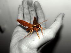 Free Sphinx Moth Stock Photo - 787870