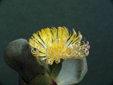Free Blossoming Pleiospilos Bolusii. Royalty Free Stock Image - 787886