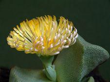 Free Blossoming Pleiospilos Bolusii. Royalty Free Stock Images - 787899