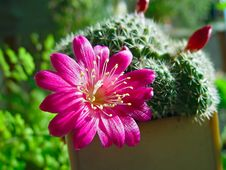 Free Blossoming Cactus Rebutia Senilis. Royalty Free Stock Photo - 788325