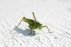 Free Grasshopper Stock Image - 788531
