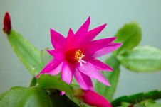 Free Blossoming Cactus Schlumbergera. Stock Image - 788541