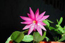 Free Blossoming Cactus Schlumbergera. Royalty Free Stock Image - 788546