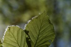Free Hairy Leaf Royalty Free Stock Image - 788556