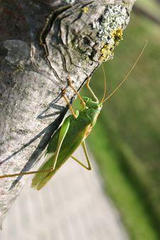 Free Grasshopper Stock Image - 788641