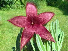 Free Blossoming Stapelia Asterias. Royalty Free Stock Photo - 788705