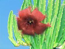 Free Blossoming Stapelia Asterias. Stock Image - 788731
