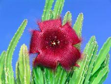 Free Blossoming Stapelia Asterias. Stock Photos - 788803