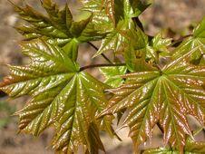 Free Maple Tree Leaves. Stock Image - 788851