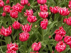 Free Tulip Field Stock Images - 789644