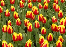 Free Tulip Field Royalty Free Stock Photos - 789678