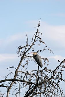 Free Great Blue Heron On Tree Royalty Free Stock Photos - 789958