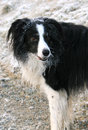 Free Border Collie In Winter Royalty Free Stock Images - 7806759