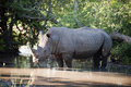 Free Rhino In Kruger Park Royalty Free Stock Photo - 7809495