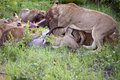 Free Lion Family Eating Their Prey Royalty Free Stock Images - 7809549