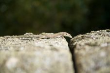 Small Lizard Stock Images