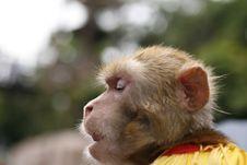 Thinking Monkey Stock Photography