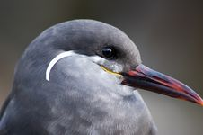 Free Inca Tern Stock Photography - 7801812