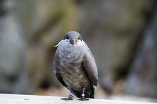 Free Inca Tern 1 Stock Images - 7801904