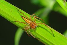 Common Lynx Spider In The Park Royalty Free Stock Photo