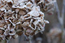 Free Snowy Hydrangea Royalty Free Stock Photography - 7802837
