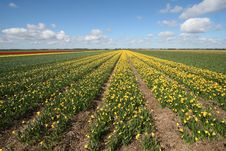 Free Field Of Yellow Flowers Stock Images - 7803204