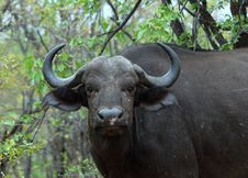 Free Cape Buffalo Wild In Africa Stock Image - 7803731