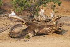 Driftwood In The Bed Of The Olifants River Stock Photo