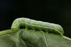 Free Green Caterpillar Royalty Free Stock Image - 7804936