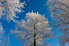 Free Trees In Winter Royalty Free Stock Photography - 7805047