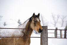 Free Quarter Horse Stud In Winter Royalty Free Stock Photos - 7805388