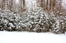 Free Fir Trees Blanketed In Snow Royalty Free Stock Image - 7805746
