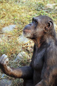 Free Chimpanzee Stock Image - 7806411