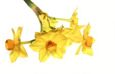 Free Yellow Daffodil Isolated Stock Image - 7806561