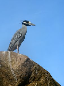Free Yellow-Crowned Night Heron Stock Images - 7806624