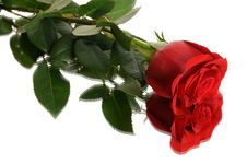 Free Red Rose Stock Photography - 7806882