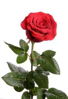 Free Red Rose Royalty Free Stock Image - 7806886