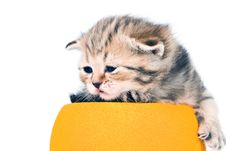 Free The Kitten Scottish Lop-eared Breed Royalty Free Stock Photography - 7807147