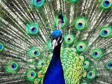 Free Peacock 3 Stock Photos - 7807943