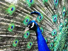 Free Peacock 4 Royalty Free Stock Image - 7808046