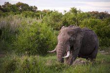 Free Male Elephant Stock Images - 7809174