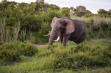 Free Male Elephant Stock Image - 7809201