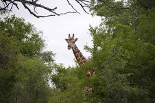Free Giraffe Royalty Free Stock Photo - 7809225