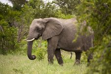 Free Elephant In Kruger Park Stock Photos - 7809243