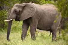 Free Elephant In Kruger Park Stock Photos - 7809293