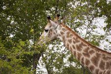 Free Giraffe Royalty Free Stock Image - 7809326