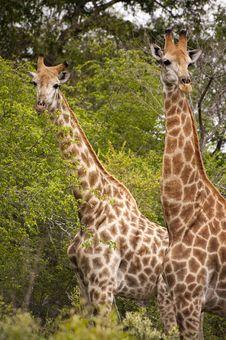 Free Giraffe Stock Photography - 7809332