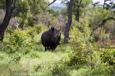 Free Rhino In Kruger Park Royalty Free Stock Photos - 7809338