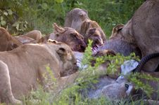 Free Lion Family Eating Their Prey Stock Images - 7809514